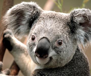 1505064098_koala