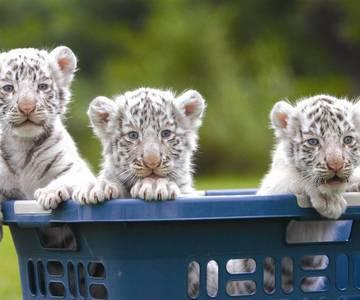 1507042468 white tiger cubs playing