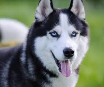 1557601119 huskies