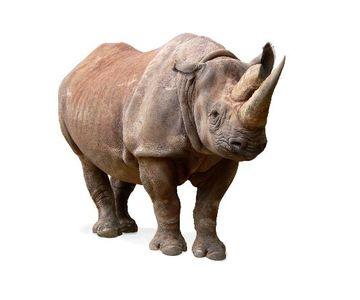 1559109386_black_rhinoceros_on_white_background_600